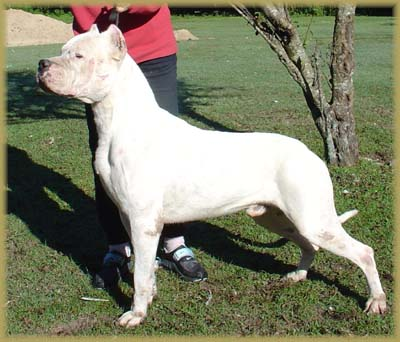 Dogo Argentino? | Page 3 | Pit Bull Chat Forum